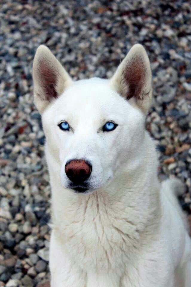 White Husky With Beautiful Blue Eyes White Husky Husky With Blue Eyes Siberian Husky Dog