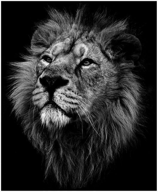Image result for lion head black and grey | wild animals ...