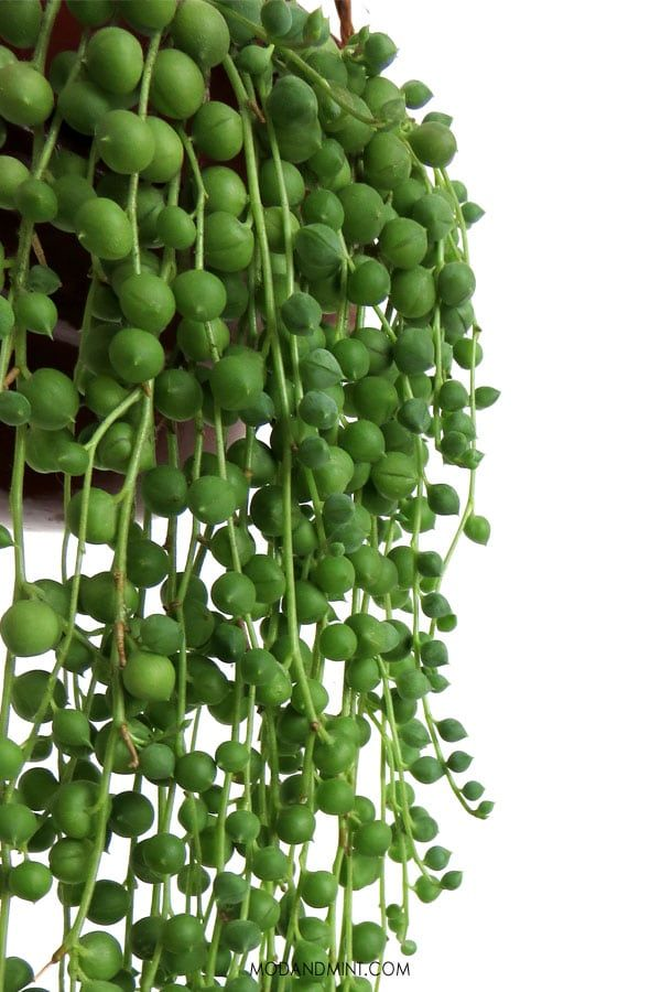 The Best Indoor Hanging Plants  Low Maintenance Care  Hard to Kill The String Pearls plant is one of the easiest hanging plants to care for Nonfussy and easy growing Get...