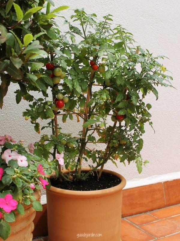 Ideas para un huerto urbano tomates agricultura - Tomates cherry en maceta ...