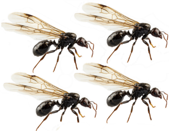 fourmis volantes qu 39 est ce qui attire les fourmis ail es. Black Bedroom Furniture Sets. Home Design Ideas