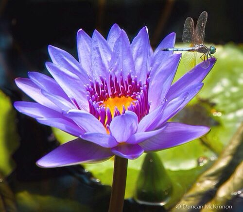 Dragonfly On A Purple Lotus Flower Lotus Flowers Lily Pads