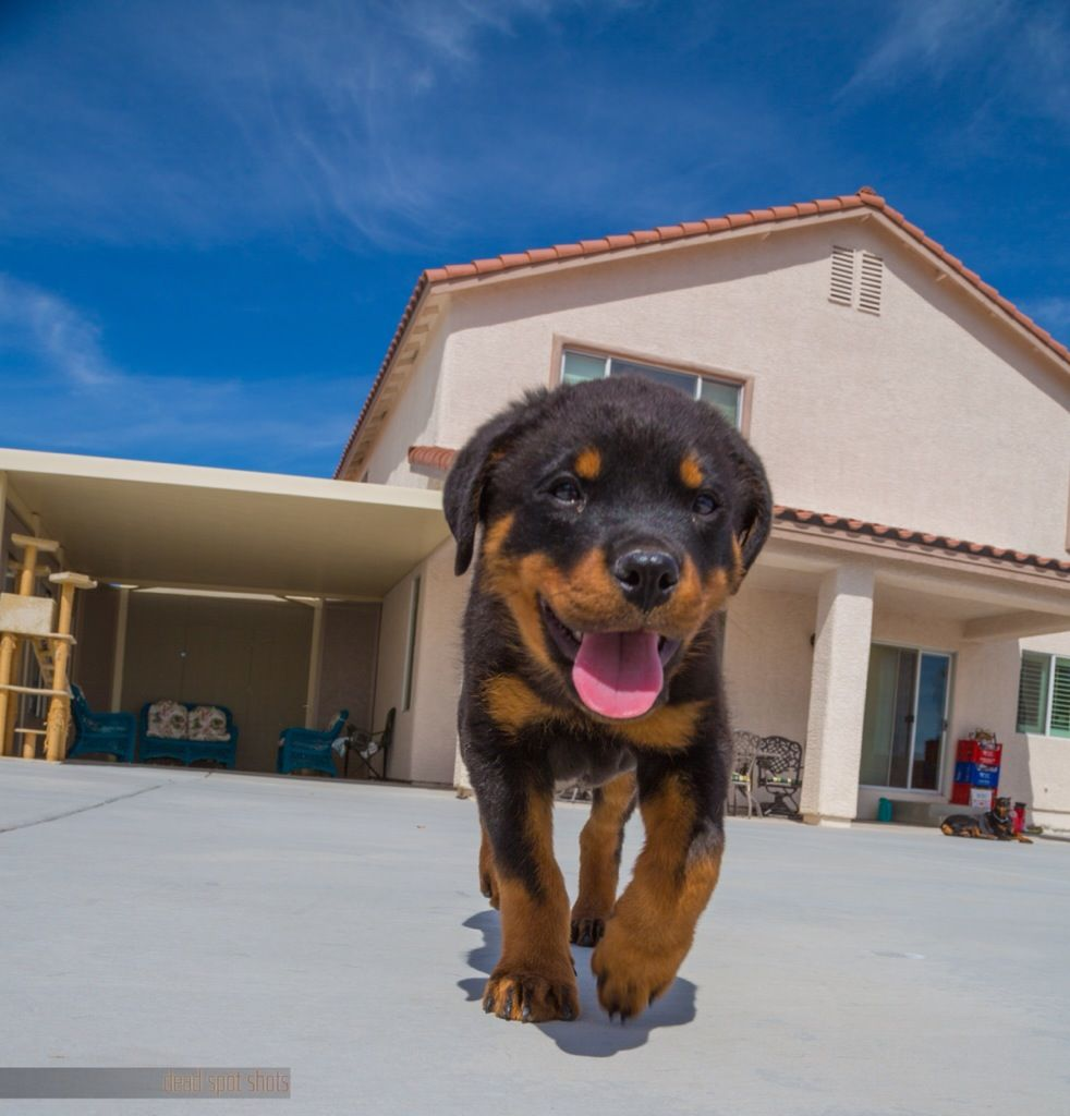 Got A 10 Week Old Rottweiler Yesterday Photography Dogs