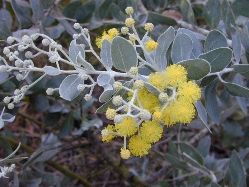 Image Result For Red Flowering Acacia Tree Acacia Tree Flowering Trees Acacia