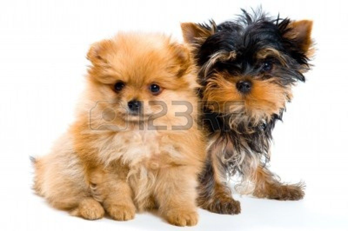 Stock Photo In 2020 Yorkie Mix Puppies Safe Dog Toys