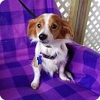 Adopt A Pet Astoria San Antonio Tx Puppies Chihuahuas