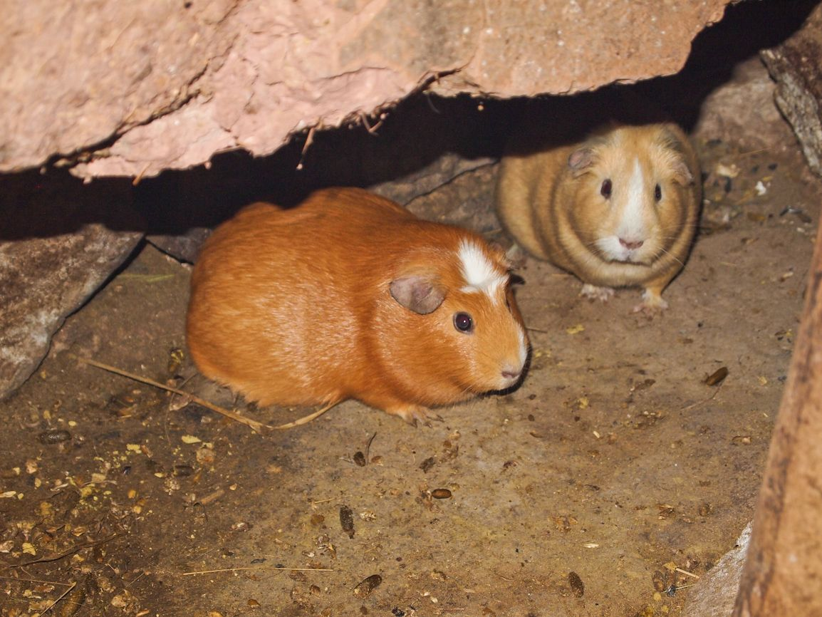 Cuy or guinea pig are a main staple in the rural Peruvian