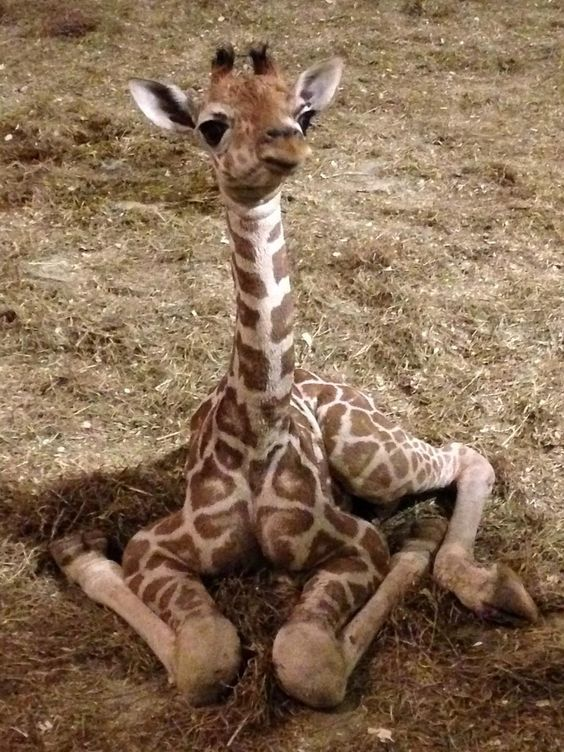 Cute Baby Giraffe – Cute Animals #giraffe #wildlife #cutecreatures