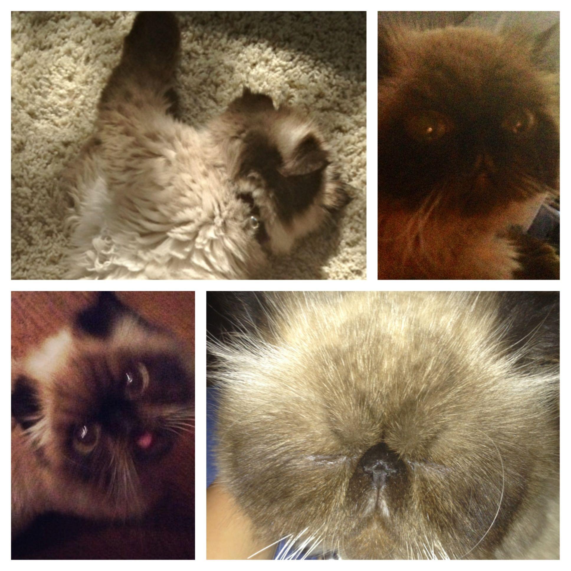 Montage! Himalayan persian cats, Animals, Cats