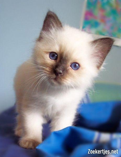 Schattige Stamboom Ragdoll Kittens Dieren Katten Schattige Babydieren Ragdoll Kittens Schattige Katten