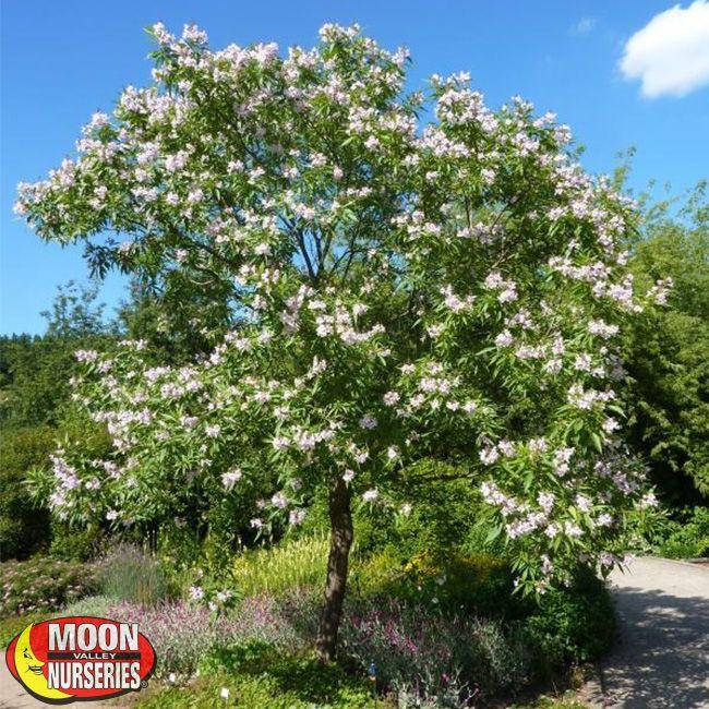 Small Ornamental Trees For Kansas: Chitalpa Tree-relative Of Desert Willow But Bigger