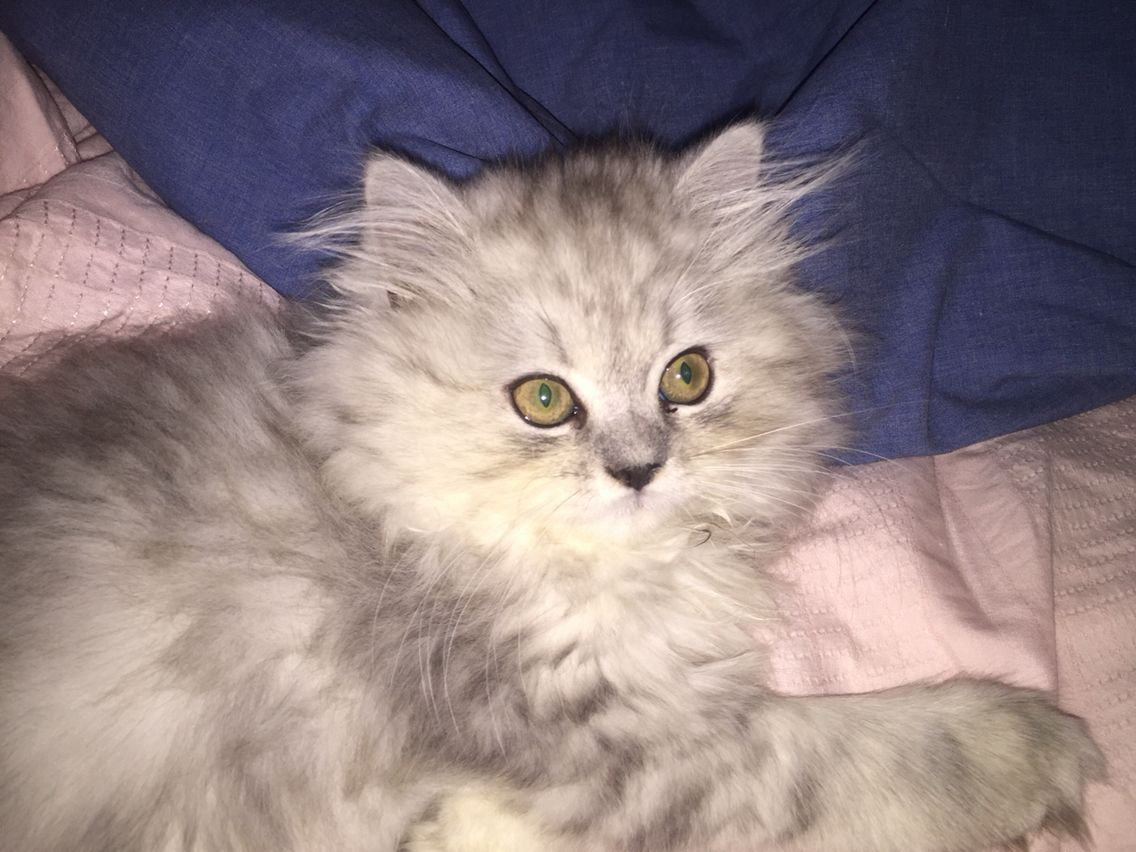 Persian Cat Doll Face 12 Weeks Old Today In 2020 Persian Cat Doll Face Persian Cat Cats