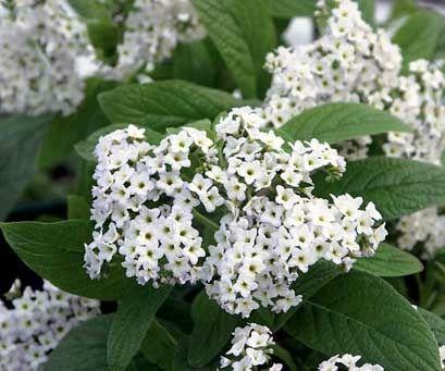 White heliotrope smells like vanilla cake mix yard pinterest flower white heliotrope smells mightylinksfo