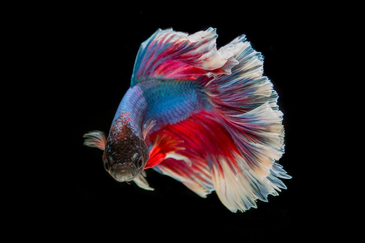 Free Image on Pixabay - Fighting Fish, Fish, Three Color