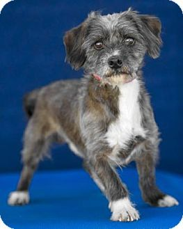 Pictures of Sherman a Dachshund/Miniature Poodle Mix for