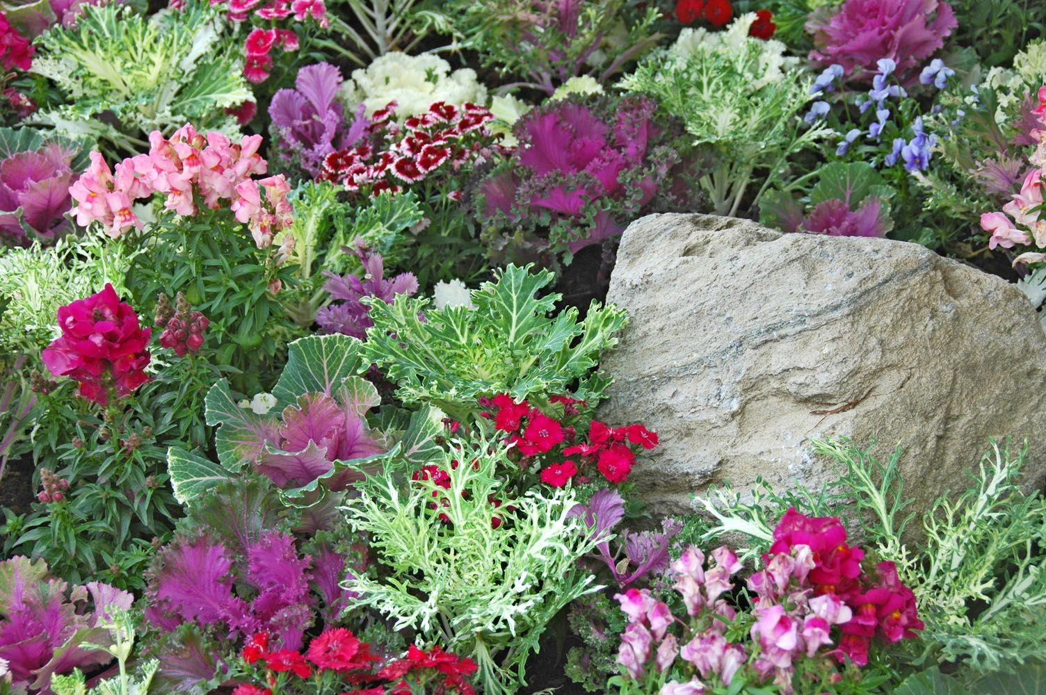 """A random mix of flowering kale or cabbage, dianthus ..."