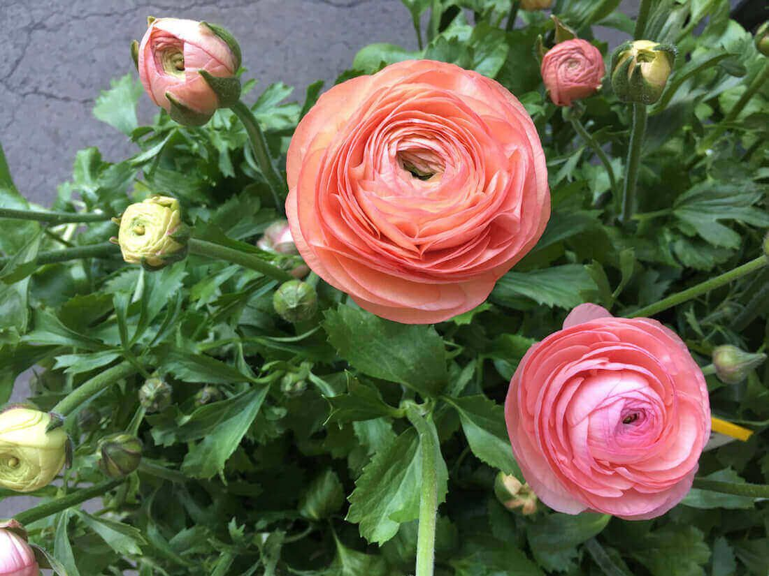 Growing Ranunculus The Correct Way To Plant Bulbs In 2020 Ranunculus Flowers Planting Bulbs Ranunculus Garden