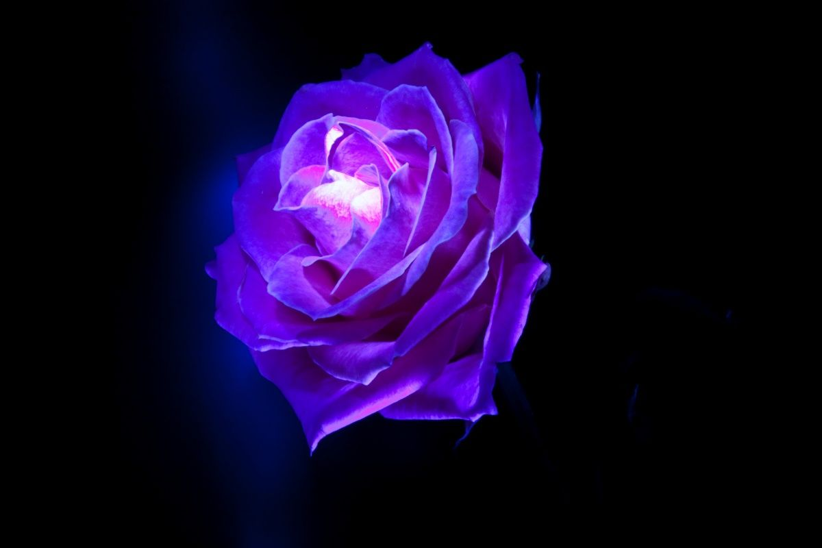 Blue and purple roses plants flowers blue rose brian rose blue and purple roses plants flowers blue rose dhlflorist Images