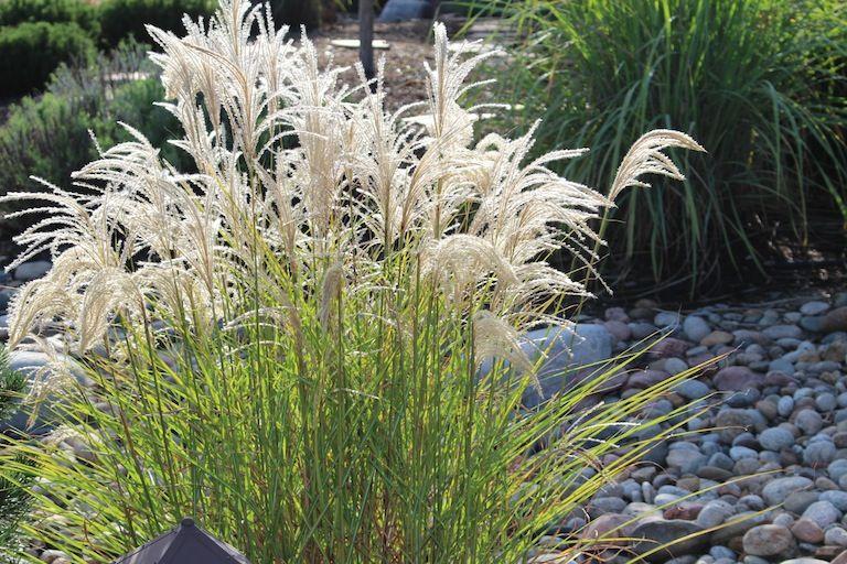 Feathery Ornamental Grass Ornamental Grasses