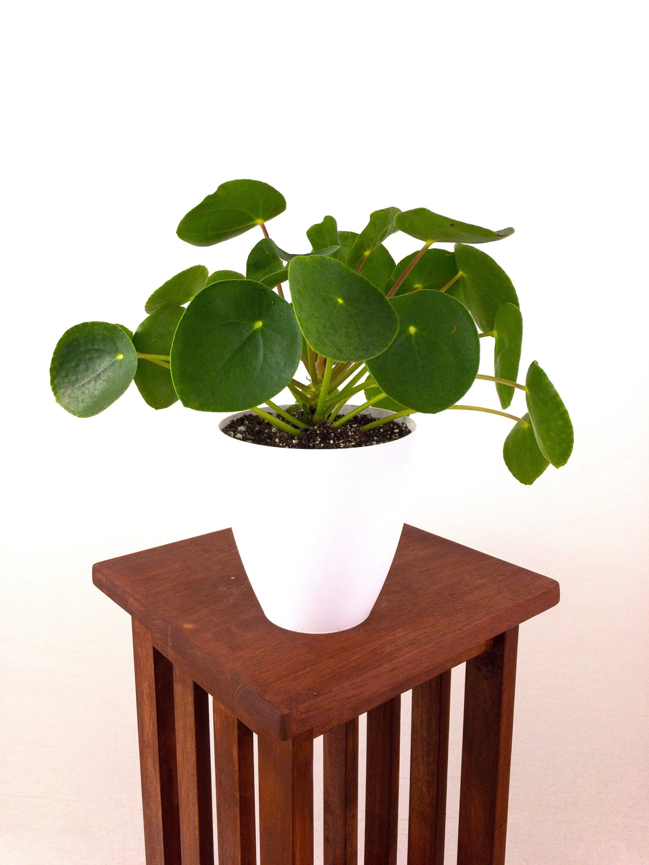 RARE Large Pilea Peperomioides (Chinese Money Plant) Live Houseplant  Easy Care Indoor Plant, Home Decor, Office, Gardening, minimalistic is part of Indoor garden Minimalist - This Pilea Peperomioides, also known as the Chinese Money Plant, is one of the most popular, yet rare and hardtofind indoor pants  They are often called the  friendship plant  because, due to their low availability, most people have better luck finding them at plant swaps or getting a cutting from a friend than in traditional nurseries or garden centers   But one all is you need to decorate a whole room or entryway! Its bright green pancakeshaped leaves and central upright stem, surrounded on all sides by these characteristic perky leaves, provide an elegant and welcoming burst of color against white walls  Best of all, this plant is rated as nontoxic by the ASPCA and therefore safe to keep around pets and small children   CARE Pilea peperomioides is a surprisingly adaptable and easy to care for plant  All it needs is bright, indirect light and consistent waterings  If it receives light from a single nearby window, I would also recommend rotating it a few times per week to keep its round shape and the leaves growing evenly on all directions   The plant will also reward you with new growth regularly, producing  pups   offshoots that can be cut away and propagated as separate plants to keep as extra greenery, or to continue to the tradition and pass on to a friend   SHIPMENT This large Pilea in a white, custommade 6  planter  3D printed inhouse with sustainable, plantbased materials   Photograph above represents plants in the nursery  Appearance of delivered plant may vary depending on season  NOTES Rare plants like this Pilea require special preshipping preparation, and usually ship within 57 days   There are certain risks associated with shipping live plants  While we take all precautions to make sure the plants arrive in good conditions, some transit shock is normal  To alleviate this shock, water your plant lightly upon arrival and wait at least 1 full week before transplanting it to a new container  In the event that the plant is severely damaged during transit, please contact us within 48 hours with a description of the condition of your plant upon arrival and a picture, and we will gladly mail a replacement   WINTER SHIPMENTS Buyers shipping to destinations with temperatures under 40F must also purchase a heat pack