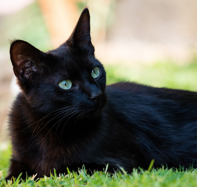 August 17th Is National Black Cat Appreciation Day Yay For Black Cats There Are 22 Black Cat Bree Black Cat Appreciation Day Black Cat Breeds Black Cat Anime
