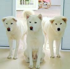 Mine All White Akita Yes Akita Dog