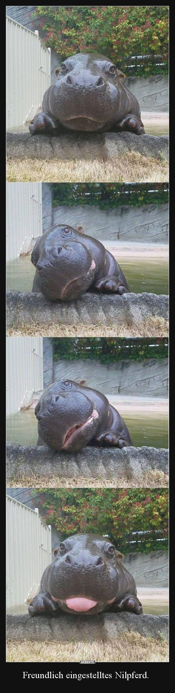 Freundlich eingestelltes Nilpferd. | Lustige Bilder, Sprüche, Witze, echt lustig #babyhippo