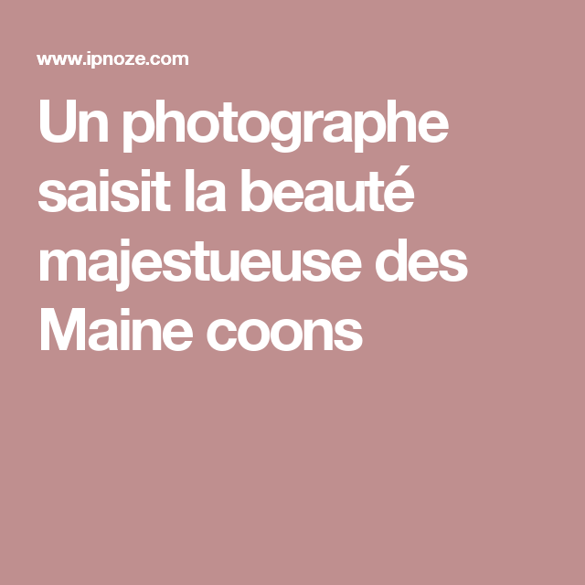 Un photographe saisit la beauté majestueuse des Maine coons
