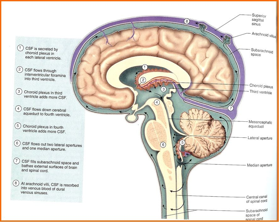 flow of CSF | The flow route of the Cerebrospinal Fluid