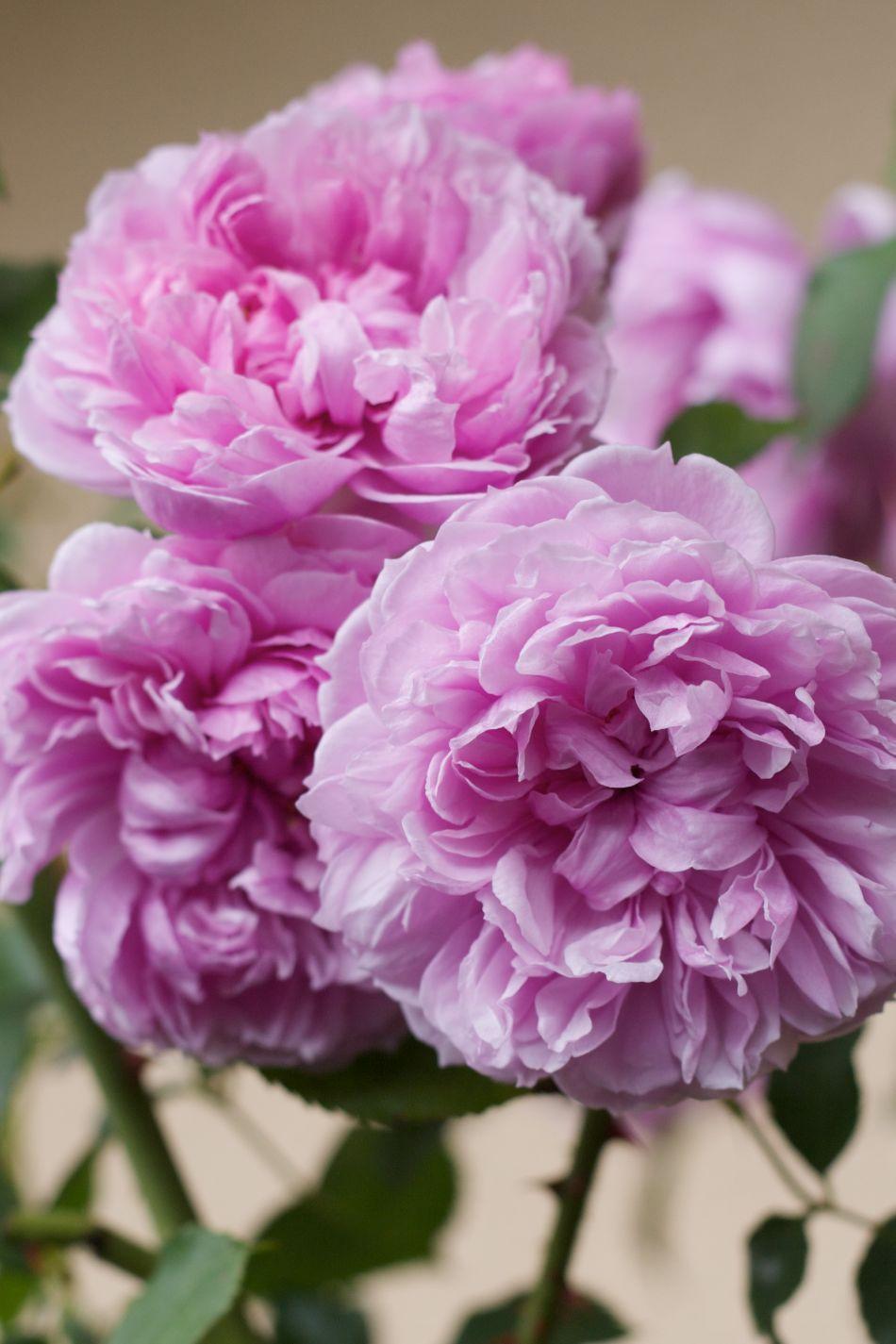English Rose 'Sister Elisabeth'