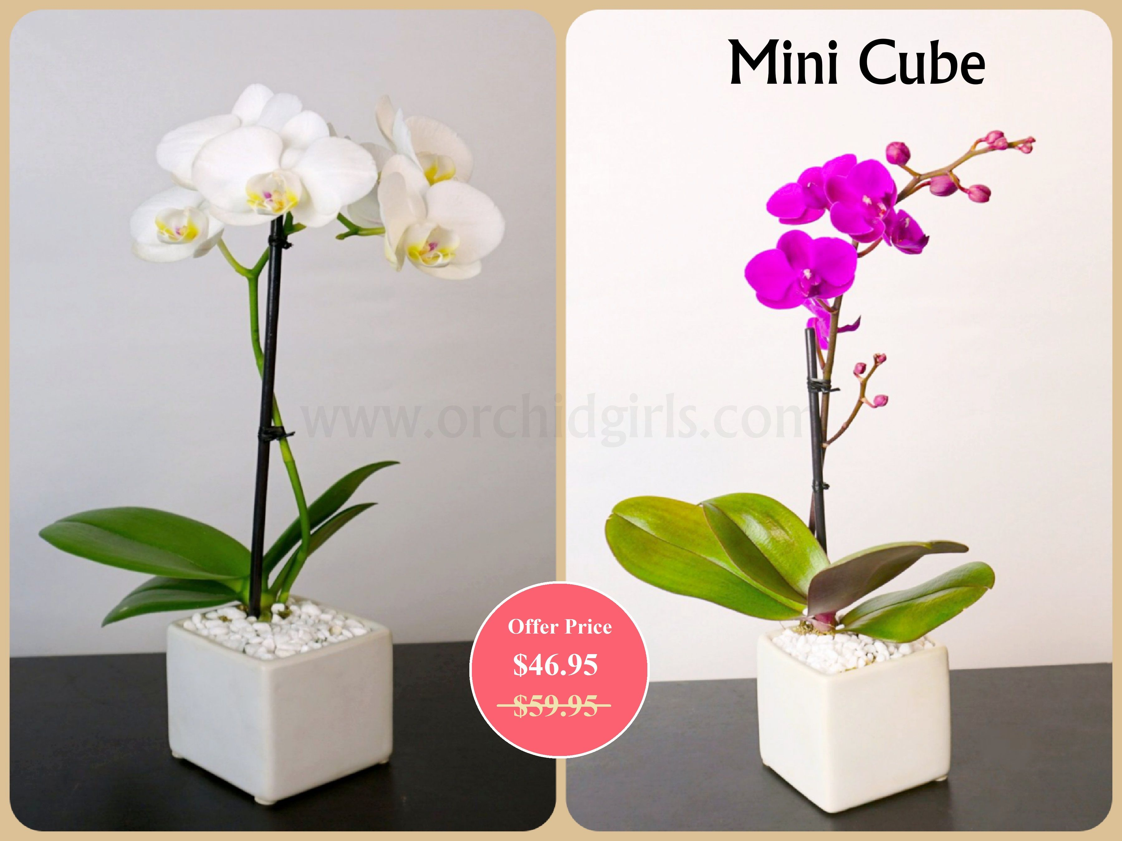 Mini Cube Buy Minicube With Offer Price Decorate Your Room By It Buy Now Www Orchidgirls Com Plants House Plants Indoor House Plants