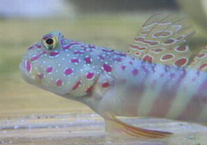 Pink Spotted Shrimp Goby Pet Training Family Pet Puppy Training
