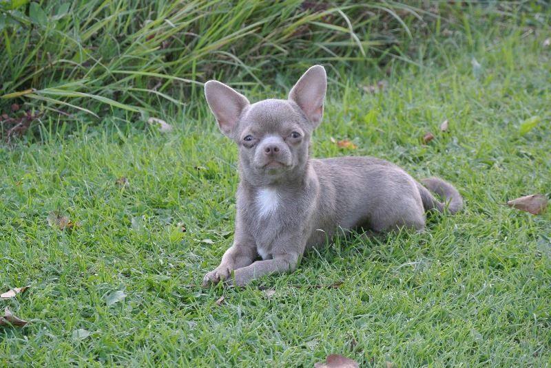 Lavender Chihuahua Cute Chihuahua Chihuahua Puppies
