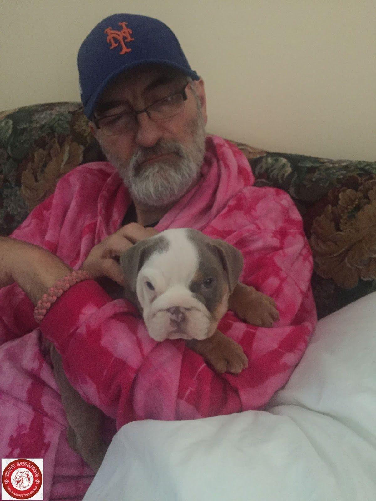 Purple Lilac Tri English Bulldog Puppy English Bulldog English