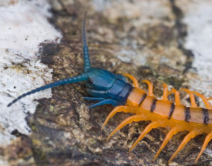 Malaysian giant centipede, species to be established  | Bugs