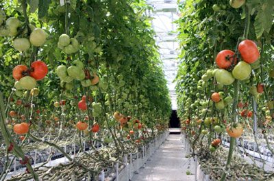 Hydroponic Vegetable Gardening Could Soil Go Out of Style