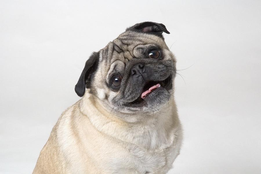 Pug Smile Smiling Dogs Pugs Pug Dog
