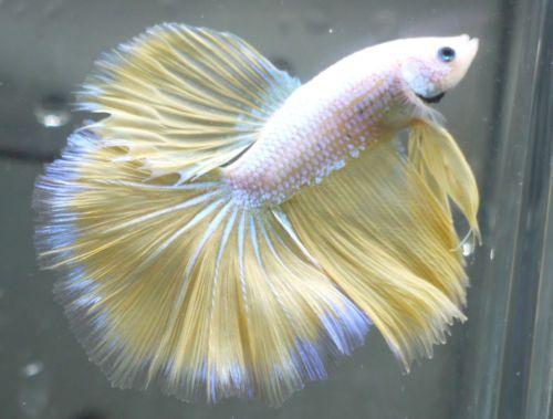 Live Tropical Fish Yellow Dragon Halfmoon Betta E14 Betta