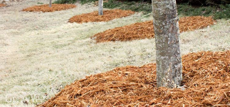 How To Fertilize Fruit Trees Fruit Trees Tree Mulch Tree