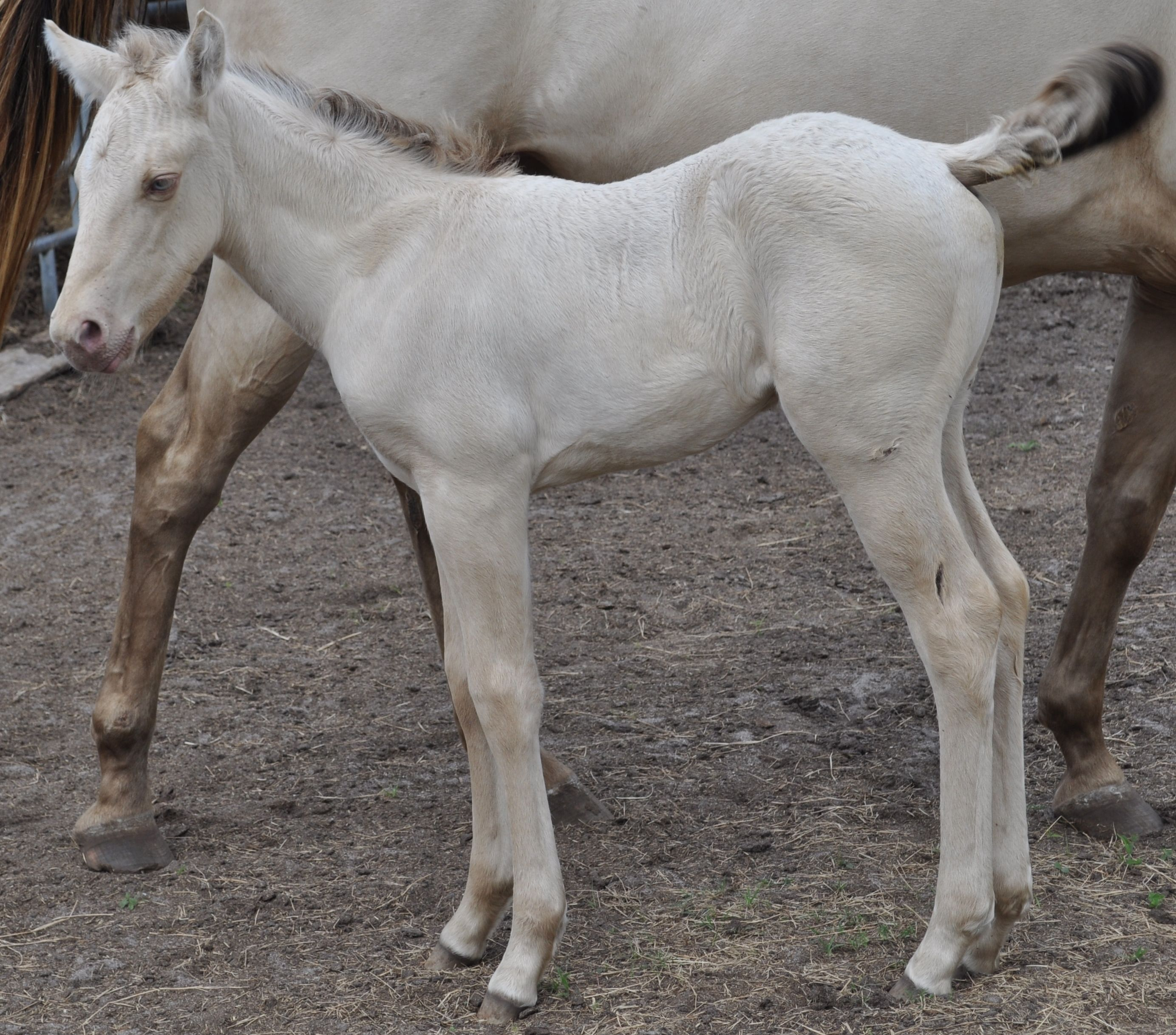 Song Of Songs at about a week old. Song is a classis cream dun or in otherwords a smoky grulla with a champagne gene.  The champagne gene dilutes the coat color.  Her color test is: Ee/aa/Dd/nCh/nCr.