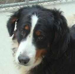 Adopt Sasha on Animal rescue site, Dogs, Swiss mountain dogs
