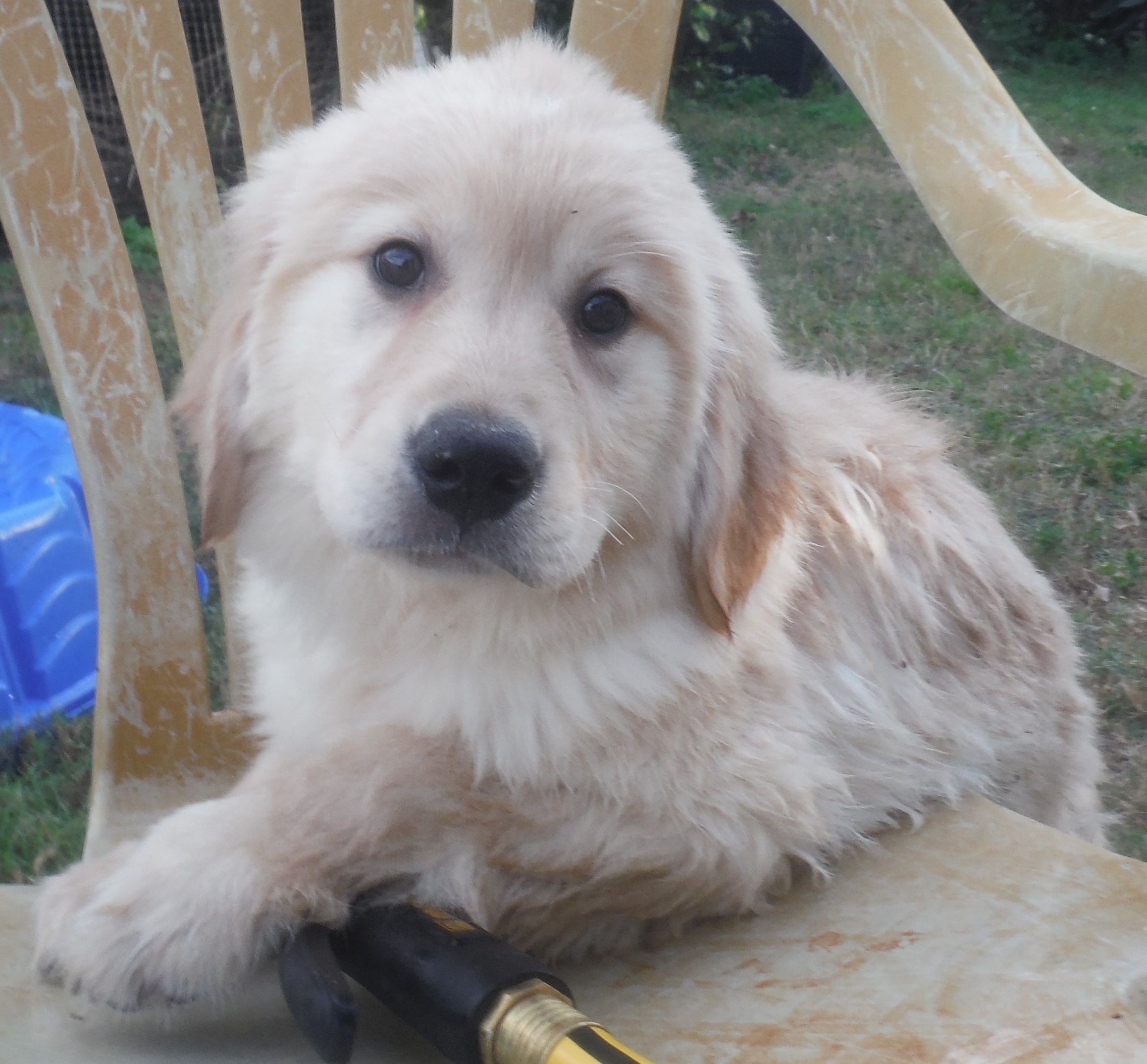 Golden Retriever Dog For Adoption In Commerce Ga Adn 471104 On