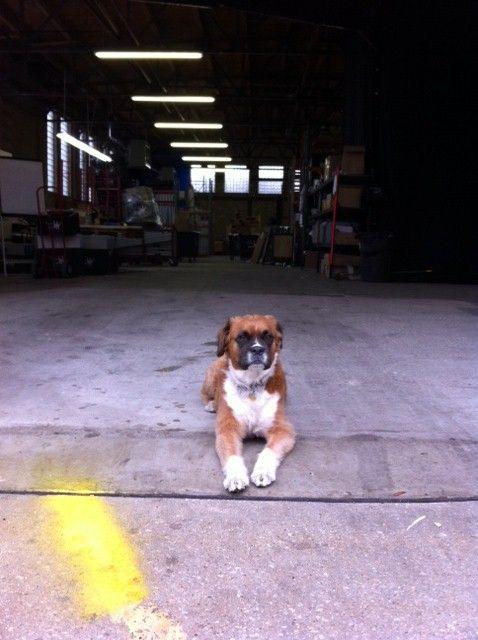 Tasha The Drape Kings Chicago Security Dog Event Carpets