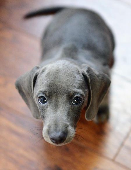 This Is The First Time That I Saw A Blue Dachshund I Think I