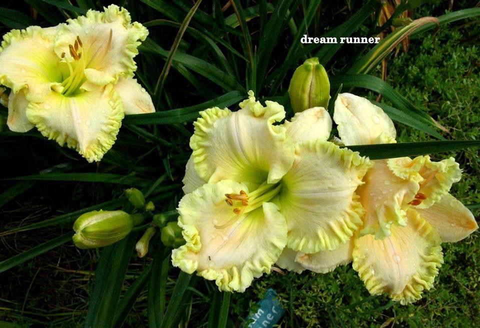 Pin by Dana Norris on DaylilyHemerocallis Day lilies