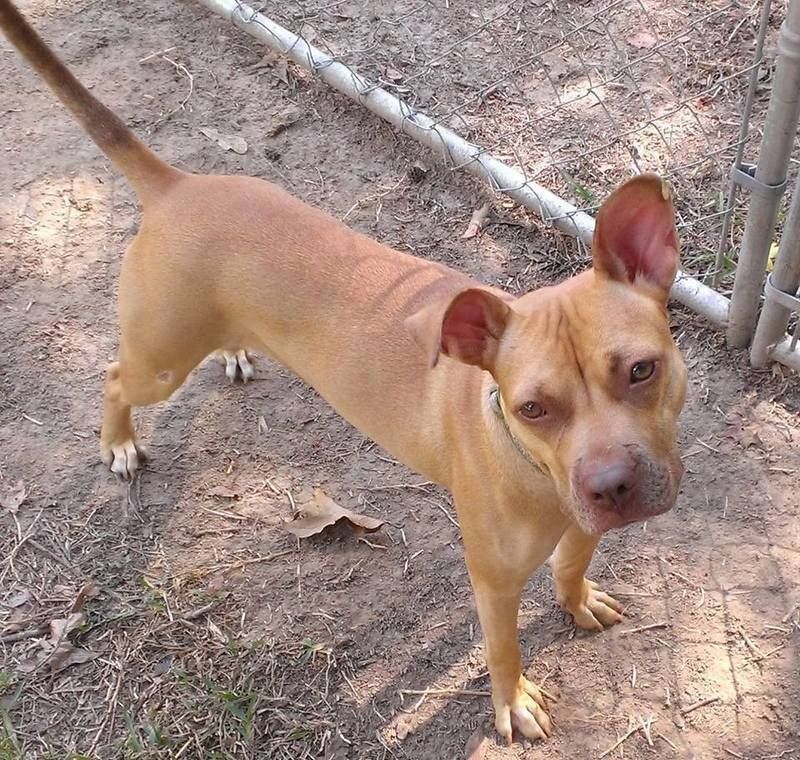 Adopt Nala On Pitbull Terrier American Animals Pets