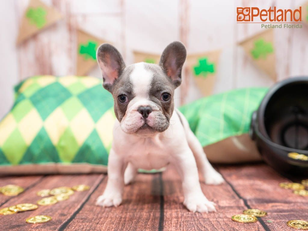 Puppies For Sale French Bulldog Puppies Puppies Bulldog
