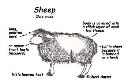 Hawk Red Tailed Sheep Drawing Sheep Pointed Ears