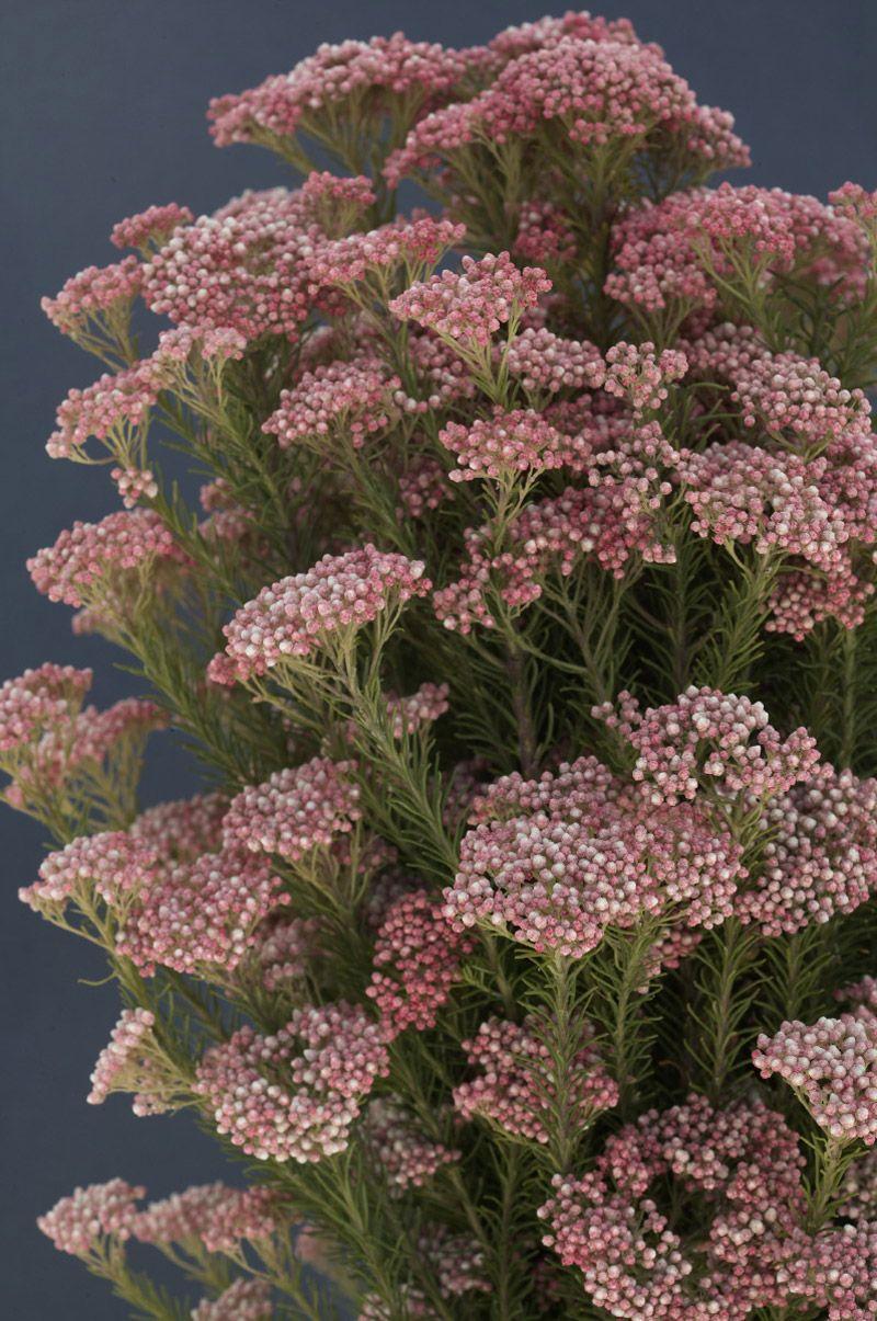 Inexpensive Filler Flower Rice Flowers Flowers