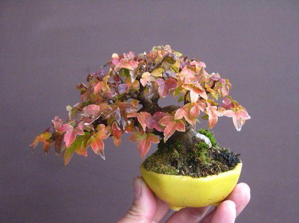 Pin di michael banzai su mame bonsai bonsai mame bonsai for Alberelli da giardino fioriti